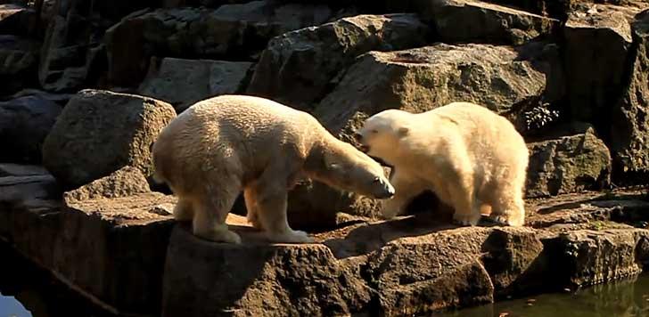 Knut blir attackerad av isbjörnshonan Katjuscha. Bild från Youtube-video.