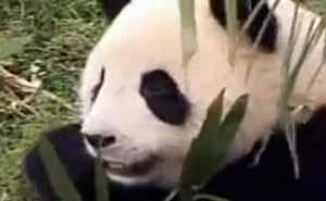 Ambassadörer för pandor. Foto från video.