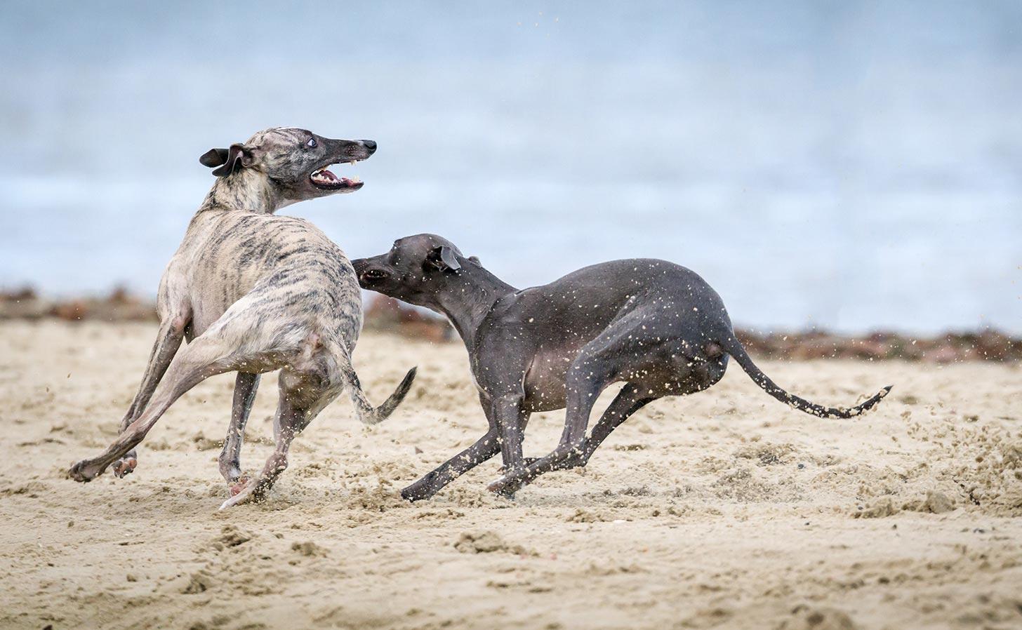 Två seende vinthundar leker på en strand (ej hunden i texten). Foto: Mark Galer / Unsplash